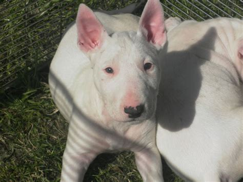 bull puppies for sale bull terrier puppies for sale wigan greater manchester pets4homes