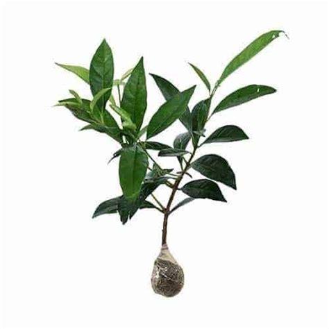 Bibit Daun Salam jual tanaman daun salam bibit