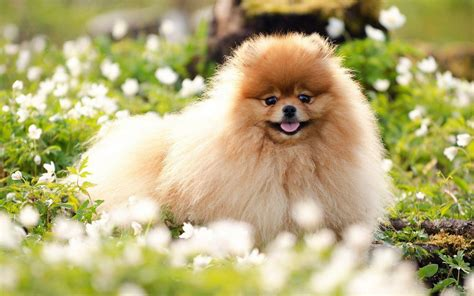 pomeranian wallpaper pomeranian wallpapers wallpaper cave