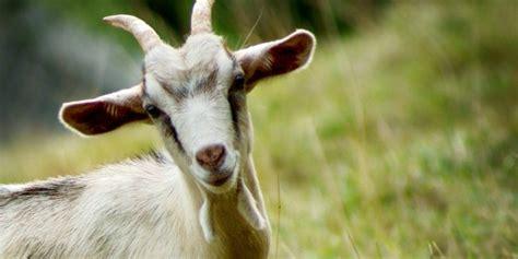 alimentazione capra mangiamo pi 249 sale delle capre dietaelinea it