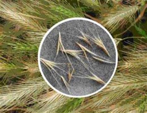 foxtail in s ear 5 tips on keeping your s ears foxtail and infection free