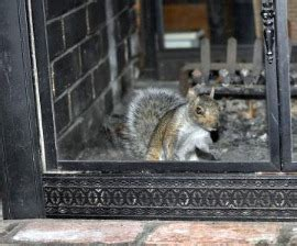 Squirrel Trapped In Fireplace by Squirrels In The Chimney The Humane Society Of The