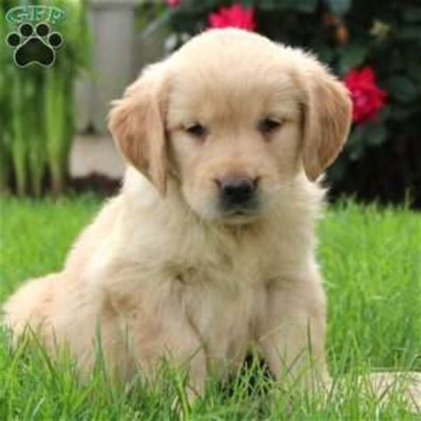 golden retriever nj golden retriever puppies nj dogs in our photo
