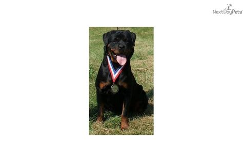 rottweiler puppies iowa puppies for sale from arduser rottweiler iowa 515 689 9091 member since october 2008