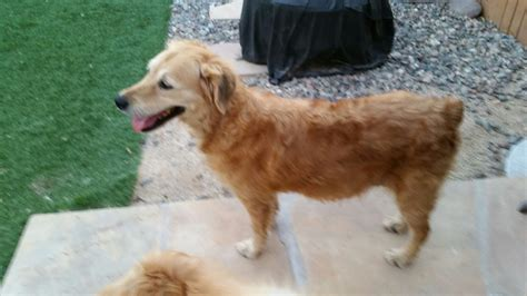 golden retriever az southern arizona golden retriever rescue