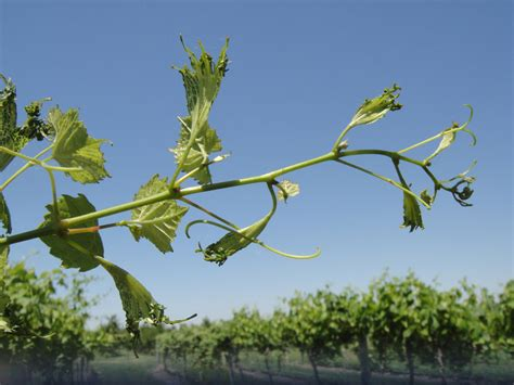 herbicide injury in grapes and other sensitive plants