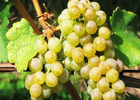 imagenes de uvas en hd mundo pisco conociendo el pisco peruano