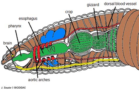 earthworm anatomy diagram leviathan s larval subjects thoughts on conveyor belts metal worms and tunnelling lukebennett13