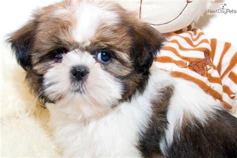 shih tzu puppy names for males meet a shih tzu puppy for sale for 399 meet our shih tzu