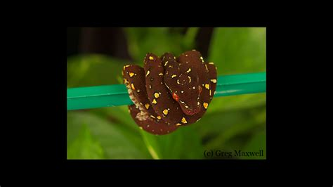 Gm Socrates Finder Southern Chondros