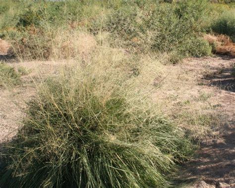 zacate alcalino sporobolus airoides naturalista