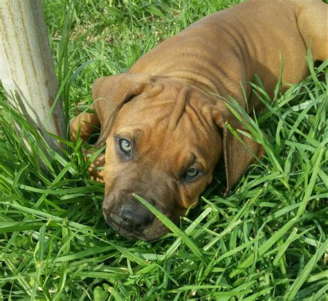 boerboel puppies for sale gorgeous boerboel puppies for sale by registered breeder offer of lifetime port