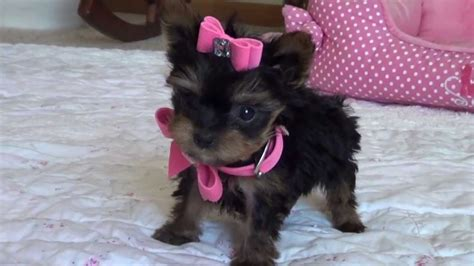 teacup yorkies for sale 500 teacup yorkies for 300 dollars for sale united states pets 5