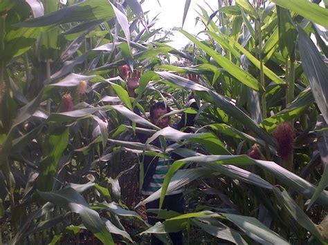 Budidaya Jagung Organik budidaya jagung teknologi organik mmc agrokompleks mmc