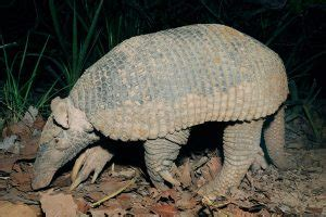 giant armadillo information habitat adaptations pictures