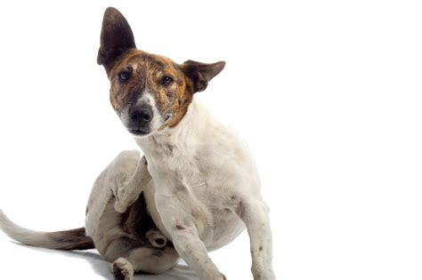 how to tell if your puppy has a fever how to if your has fleas pest island nyc