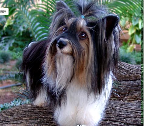 biewer vs yorkie biewer yorkie vs yorkie breeds picture