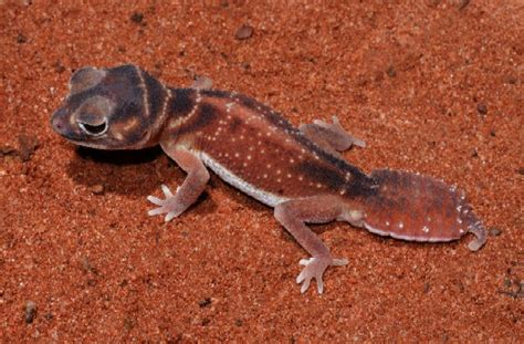Knob Tailed Gecko by Livefoods Unlimited Common Smooth Knob Tailed Gecko