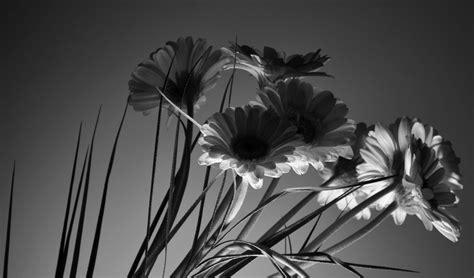 stock photo  black  white blossom flower