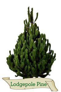 lodgepole pine real xmas trees glasgow