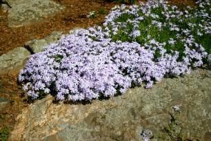 about creeping phlox how to plant and care for creeping