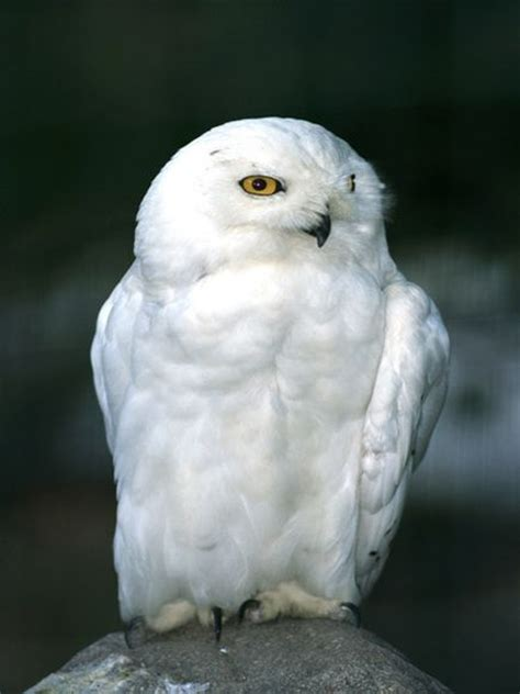 fun to be bad snowy owls soar south from arctic in rare