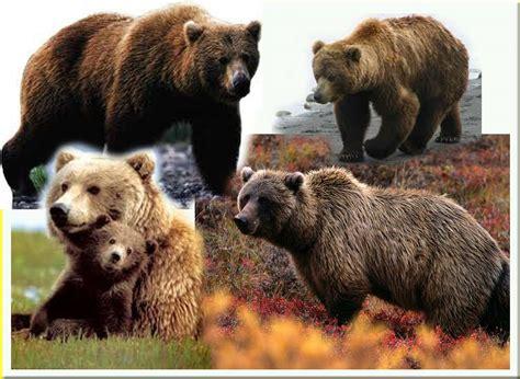 Tas Murah Tenteng Bulu Gambar Rusa Coklat beruang grizzly info dan contoh gambar beruang gambar hidup
