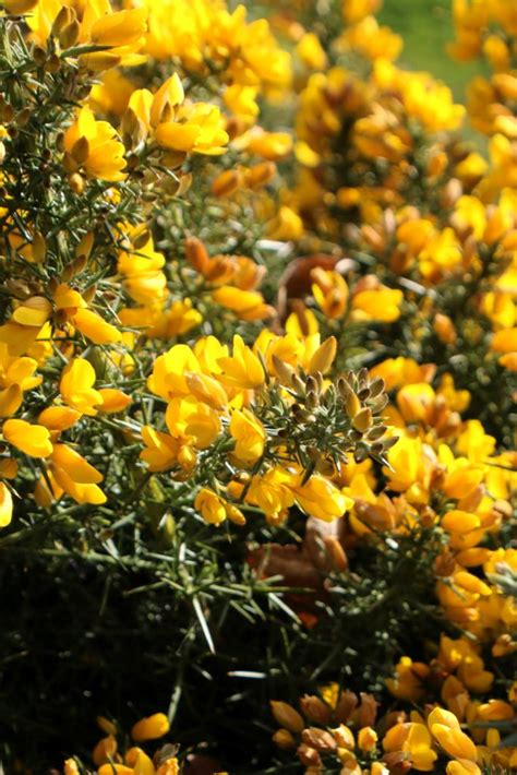 gorse planting pruning care    hedging