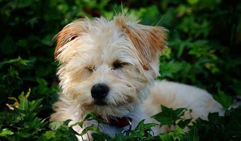 are yorkie poo dogs hypoallergenic yorkie poo breed profile of the yorkie poodle mix