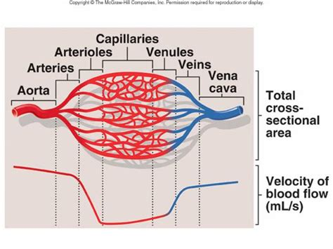 total cross sectional area blood vessels
