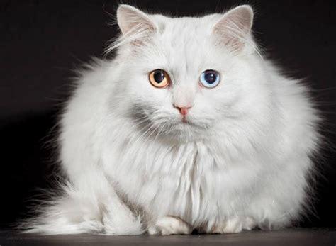Harga Perlengkapan Untuk Memelihara Kucing by Cara Merawat Kucing Anggora Dari Ahli Terpercaya Dan