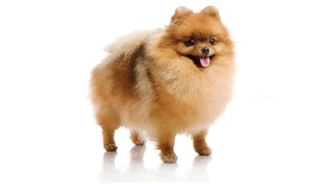 pomeranian malta problems in dogs and cats