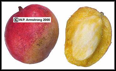 fruit with seeds or pits durian papaya mango cashew hog plum kaffir plum photos