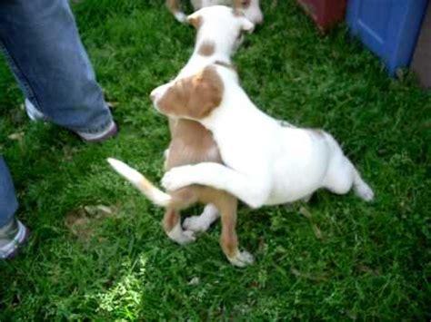 ibizan hound puppies sally ibizan hound boxer mix gopro funnydog tv