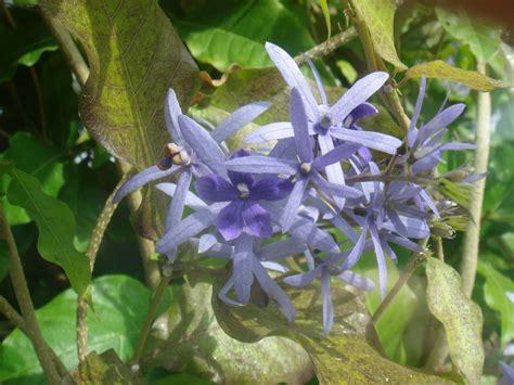 photos of colombia flowers petrea volubilis petrea volubilis l