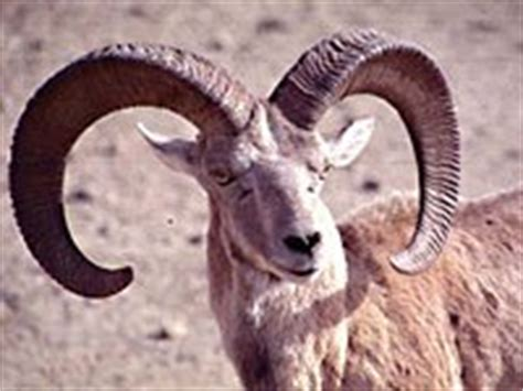 urial wallpapers animals town urial animals town