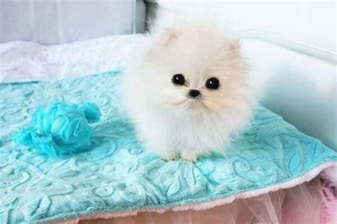 teacup pomeranian how big do they get teacup pomeranian for sale with price and from breeders