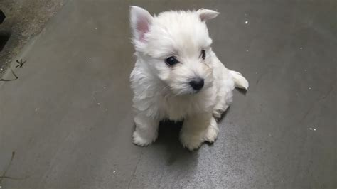 westie for sale westie pups for sale bolton greater manchester pets4homes