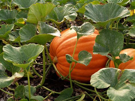 Pumpkin Garden pumpkin varieties best bets and easy to grow harvest to