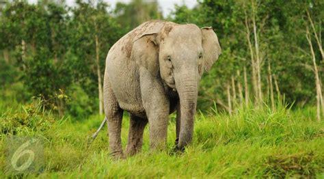 Gajah India jalan pulang puluhan gajah sumatera jadi kebun sawit