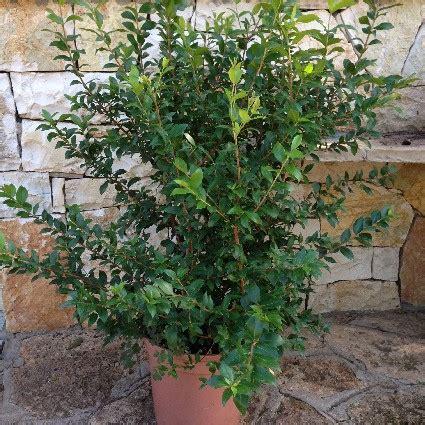 mirto in vaso myrtus communis mirto comune vaso 24 248 offerta