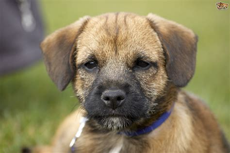 terrier puppy border terrier breed information buying advice photos and facts pets4homes
