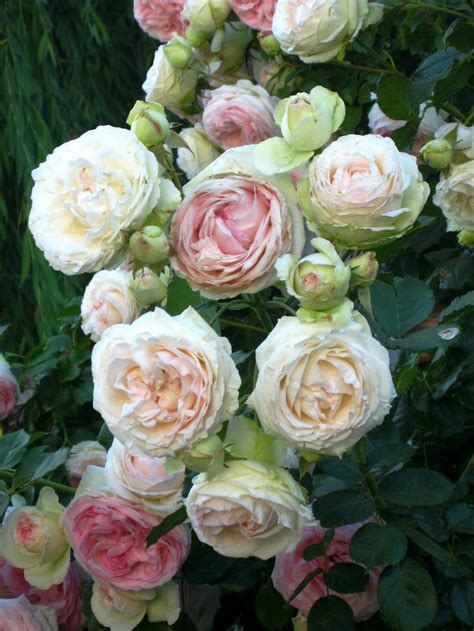 23 best garden roses look like peonies images on pinterest garden roses cabbage roses and