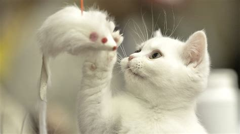 cats recognise their owner s voice when called but