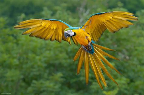 macaw parrots as pets fun animals wiki videos pictures