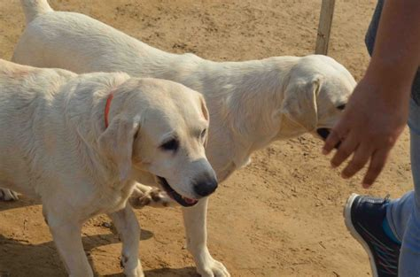 dogs india india animals information about dogs driverlayer search
