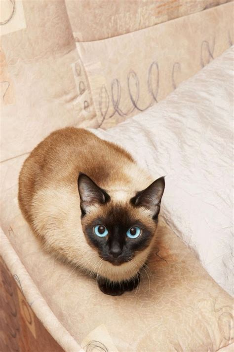 233 best Traditional Siamese cats (applehead) images on
