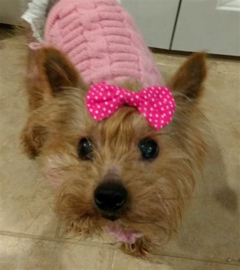 yorkie rescue mn terrier breed information