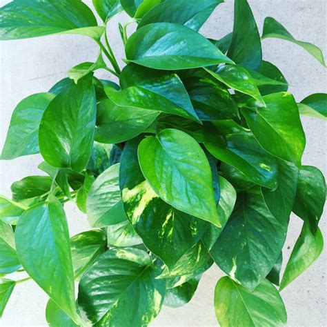 houseplants low light low light houseplants good earth garden center and
