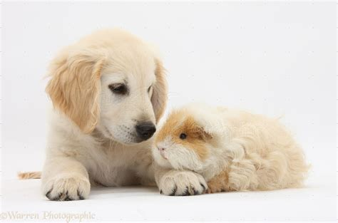 guinea pigs and dogs pets golden retriever pup and guinea pig photo wp33136